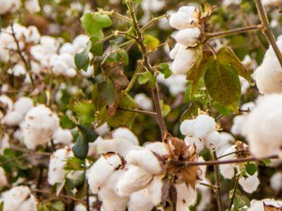 Pre Kaufland sú prioritou textílie z organickej bavlny