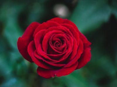 V Kauflande nájdete aj ruže s pečaťou Fairtrade